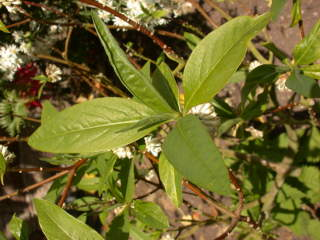Edgeworthia chrysantha, foliage